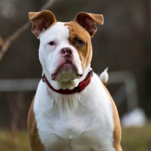 De Amerikaanse bulldog