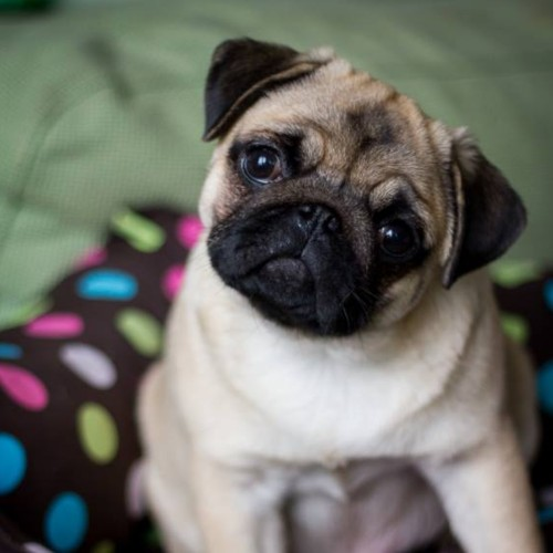 Who loves pugs?